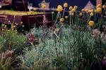 Billy Buttons in Garden design at the Melbourne International Flower & Gardens Show